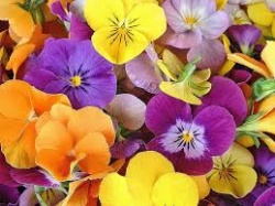 Pansy Flowers - Per Container