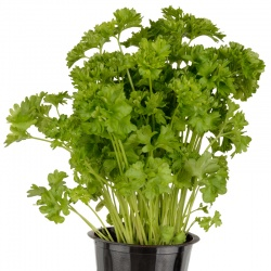 Living Parsley (ON)